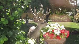 deer repellent for gardens. Interesting Gardens Deereatingflowers To Deer Repellent For Gardens I