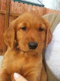 red golden retriever. Perfect Red Intended Red Golden Retriever N