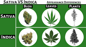 Sativa And Indica Chart Cbd Vs Indica Vs Sativa Sativa Vs Indica Thc Vs Cbd And