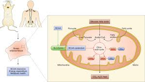 A new branch connecting thermogenesis and diabetes. - Nat. Metab. - X-MOL
