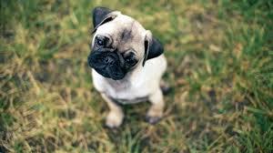 pug puppy wallpaper. Delighful Puppy 2560x1440  Intended Pug Puppy Wallpaper V