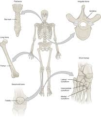 bone identification chart bone classification and structure anatomy and physiology