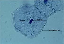 animal cells under a light microscope. Contemporary Under Animal Cell Under A Microscope Throughout Cells A Light N