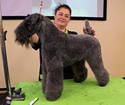 Image result for The Kerry Blue Terrier
