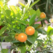 calamondin orange citrus trees