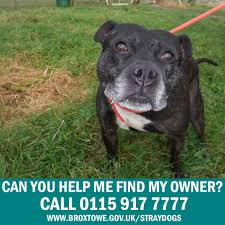 This male Staffordshire Bull Terrier ...