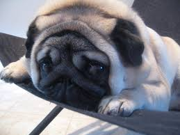113 best images about Pugs on Pinterest