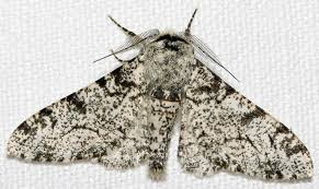What Did Moths Do Before Lights Peppered Moth Evolution Wikipedia