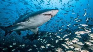 baby hammerhead sharks for sale. Wonderful Sharks Shark And Baby Hammerhead Sharks For Sale