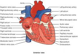 human anatomy and physiology quizlet chapter periodi on and  heart anatomy and physiology on interior heart anatomy gallery human learni