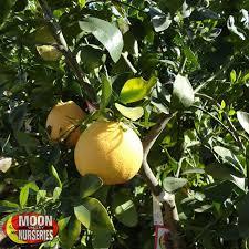 Fruit Tree Nursery North Carolina Part  42 Issai Beautyberry Fruit Tree Nursery North Carolina