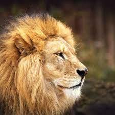 Download wallpaper 1280x1280 lion, face ...