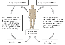 Homeostasis Article Human Body Systems Khan Academy