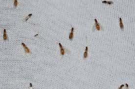 small black ants in kitchen and bathroom small ants in