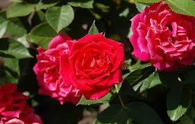 Consejos Para Cultivar Rosas En MacetasCuidados De Los Rosales