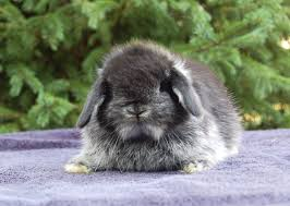 Mini Lop Colour Chart Holland Lop Rabbit Color Chart 2019