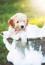 Adorable Cute Puppy. Golden Retriever Puppy Taking A Bubble Bath Stock Photo, Picture And Royalty Free Image. Image 56006400.