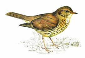 Identification amp; Food Habitat Song Thrush