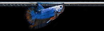 Betta Fish Feeding Guide Bettaboxx