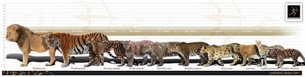 lynx size the canadian lynx by 23wrightg on emaze