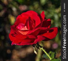 beautiful red rose flower free stock