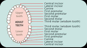 Which Baby Teeth Fall Out Chart Dental Care Childrens Teeth 5 8 Years Raising Children