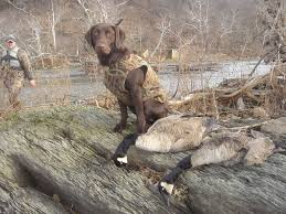 chocolate lab duck. Delighful Duck Image With Chocolate Lab Duck R