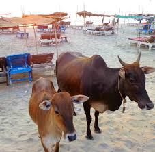 reasons why i love so much global gallivanting travel blog friendly cows enjoiyng the sunset on morjim beach goa