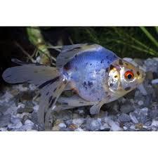 petco animals fish. Modren Petco Goldfishpondsimages  Calico Ryukin Goldfish  Pond Fish Available Online  From Petcocom In Petco Animals S