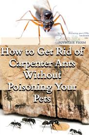 my effective step by step plan for dealing with carpenter ants in your home