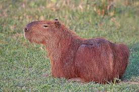 amazon river animals.  Amazon The Capybara Intended Amazon River Animals L