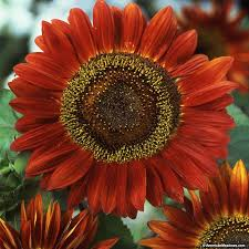 red sunflower seeds red sun helianthus annuus view larger image
