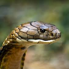 2048x2048 the real king cobra images wallpaper