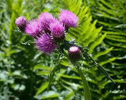Cirsium montanum — Wikipédia