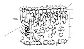 transverse section of a leaf diagram