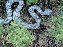 how to keep birds away from garden. Rattlesnake How To Keep Birds Away From Garden S