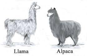 Image result for alpaca vs llama