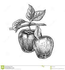 realistic apple tree drawing. Simple Apple Realistic Hand Drawing Apple With Apple Tree Drawing R