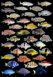 Grouper Species Chart