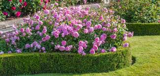 Which Scented Roses To Plant In The Garden  SagaFragrant Rose Plants