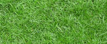 grass. Fine Grass All You Need To Know About Zoysia Grass Header In T