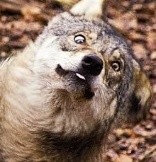 Image result for funny wolf