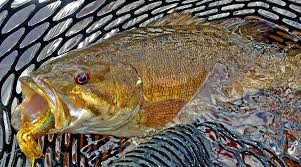 Image result for smallmouth bass caption pics
