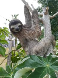 Raquel is working from home during coronavirus — and that means sloths in  the spare room - ABC News