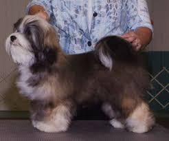 Small Picture 31 best Havanese Hair Styles images on Pinterest Havanese