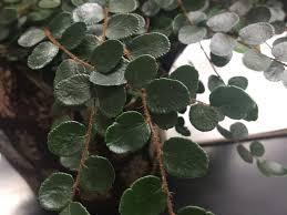 on fern pellaea rotundifolia