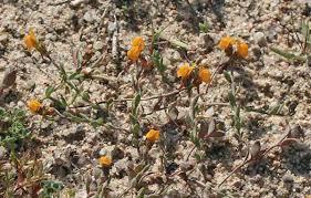 Linaria flava subsp. sardoa