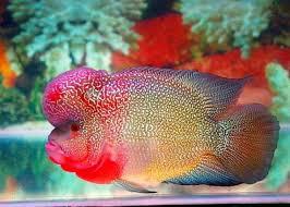 Harga Ikan Louhan Terbaru 2020