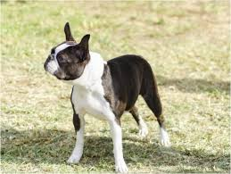 Boston Terrier Size Chart The Best Clothes For Boston Terriers