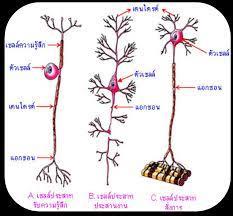 อ.รภัทร เอกนิธิเศรษฐ์ Nervous System
